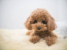plete toy poodle guide what to know