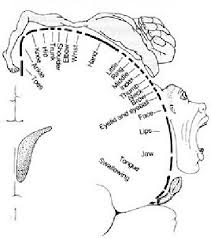 the motor homunculus or representation