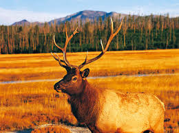 Montana Group Offers Plan To Protect Yellowstone Elk From Disease | Boise  State Public Radio