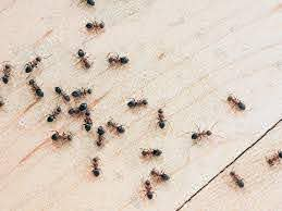 Download Ant Removal From Home Images