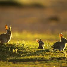 History Of Feral Rabbits In Australia