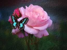 kupu kupu and rose kupu kupu fanpop
