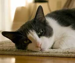 how to clean pet hair from carpet how