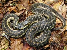 what do garter snakes eat garter