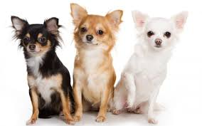 chihuahua dog dogs wallpapers hd