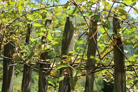 Climber Plant Creeper Fence Wood Fence Roll Fence Pole Fence Wooden Fences Plant Growth Ranke Pikist