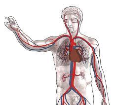 Резултат слика за krvni sistem