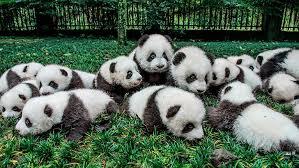 hd wallpaper cute panda bear giant