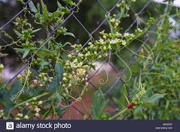 Climbing Plant With Small Flowers On A Wire Fence Stock Photo Alamy