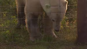 A Polar Bear Holding A Wired Fence Between Its Teeth In The North Pole High Res Stock Video Footage Getty Images