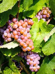 Gewurztraminer Wines Origins and Food Pairing Ideas