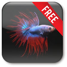 betta fish live wallpaper free 2 0 6