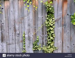 A Vine Growing Up A Wooden Fence Stock Photo Alamy