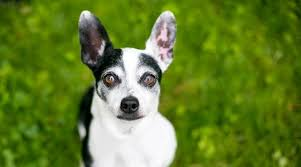 chihuahua mixed breeds 20 diffe