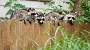Raccoons Fencefast Ltd
