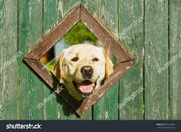 Curious Dog Looking Window Wooden Fence Stock Photo Edit Now 283174430