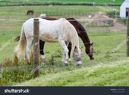 Two Horses Wearing Fly Face Masks Stock Photo Edit Now 1145016086