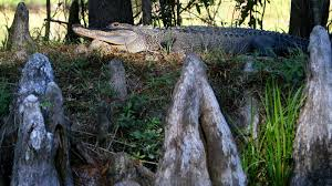 Mating Season Means More Aggressive Alligators Will Be Spotted Across Florida