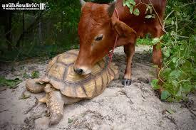 بالصور علاقة صداقة من نوع نادر تربط بين ثور وسلحفاة في تايلند