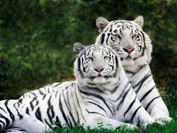 baby white tigers wallpaper 1600x1200