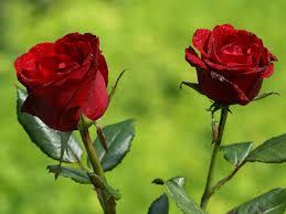 flower beautiful rose flowers