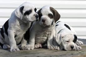 American Bulldog Puppies ...