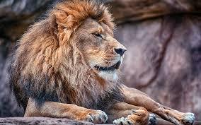 hd wallpaper lion mane backgrounds