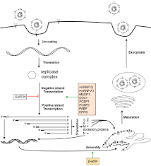 Host proteins and the coronavirus life cycle. Virus particle ...