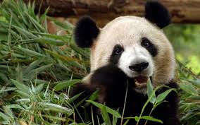 panda bear wallpapers top free panda