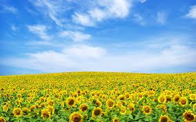 sunflower background wallpaper