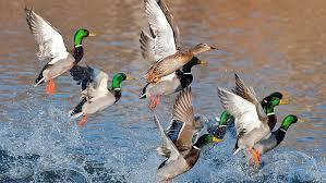 hd wallpaper flock of ducks splash