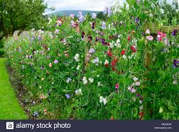 Sweet Peas High Resolution Stock Photography And Images Alamy