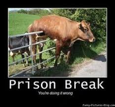 Funny Cow Memes