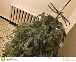 Discarded Christmas Tree After The Holiday Stock Image Image Of Down Cast 107999073