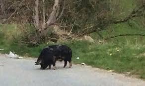 wild pig roams streets of yorkshire