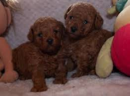 tiny toy poodle dna tested pedigree