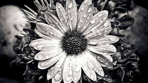 cape basket flower close up black white