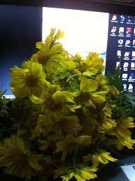 صور طبيعيه ورد أصفر