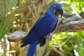 hyacinth macaw wild republic