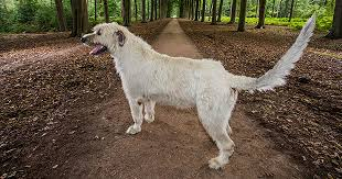 video meet irish wolfhound who boasts