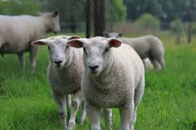 Quality Electric Fences For Sheep Gallagher