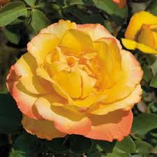 summer surprise 24 inch patio tree rose
