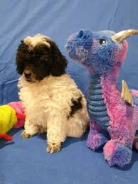 tiny toy poodle puppy dogs puppies