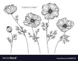 cosmos flower drawing royalty free