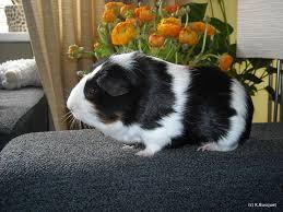 guinea pig wallpapers barbara s hd