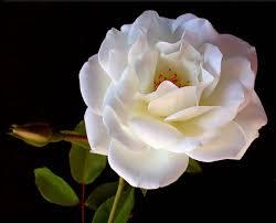 apalah artinya setangkai mawar putih
