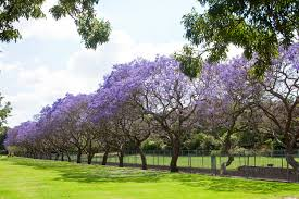 jacaranda trees burke s backyard