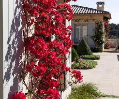 Bougainvillea Tips For Growing This Flowering Climber Australian House And Garden