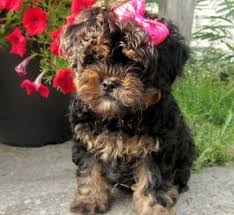 home teddy bear poodles poomi