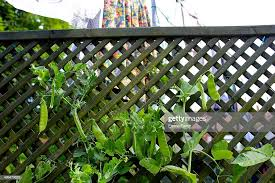 Mange Tout Growing On A Fence Next To A Washing Line In The Garden Of News Photo Getty Images
